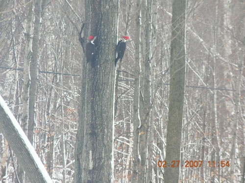 Pilated Woodpeckers. Sherrill and Alvin Eichler
