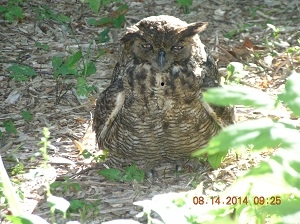 Great Horned Owl From Sherrill Eichler